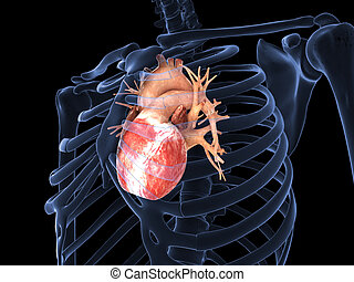 Human heart in X-ray - 3d render