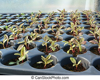 Amaranthus seedlings in pods - Amaranthus seedlings growing...