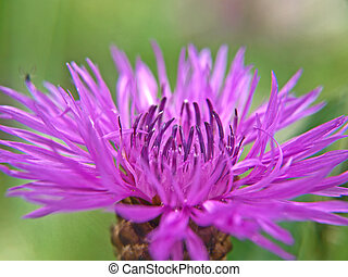 Closeup of common Black Knapweed, isolated towards green
