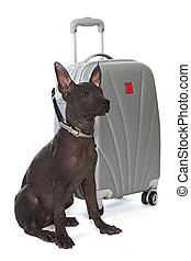 Mexican xoloitzcuintle puppy with the suitcase - Shot of...