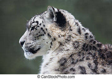 Snow Leopard - A high resolution image of a Snow Leopard