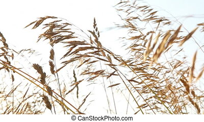 Wheat Field 4