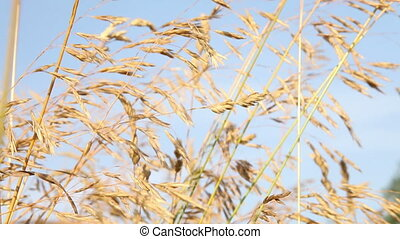 Wheat Field 3