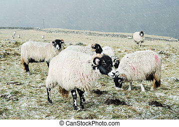 Sheep in the snow - Sheep in the Yorkshire Dales out in the...
