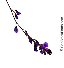 Sarsaparilla vine flower - Australian wildflower...