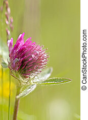 Red Clover - Close-up of Red Clover with dew drops