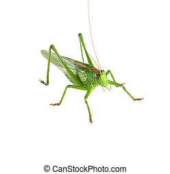 grasshopper isolated - Big green grasshopper isolated on a...