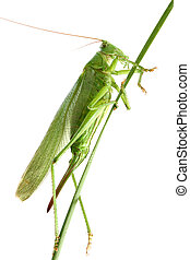 grasshopper on a stalk isolated - Big green grasshopper on a...