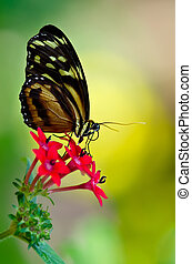 Tiger Longwing butterfly - Tiger Longwing (Heliconius...