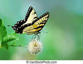 Eastern Tiger Swallowtail butterfly - Eastern tiger...