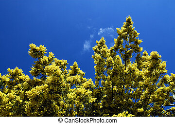 Mimosa tree on blue sky background