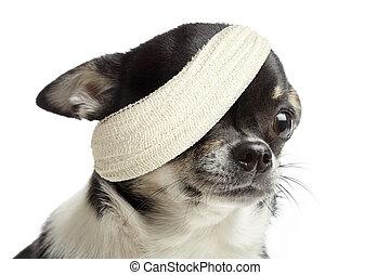 Injured Dog - Injured chihuahua dog with bandages on white...