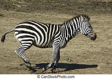 Running Zebra - Running zebra in a zoo.