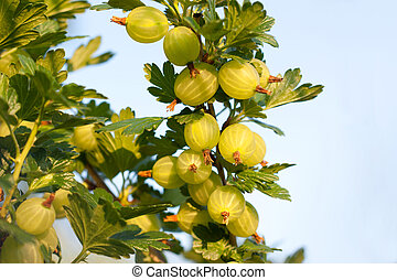 Gooseberries ripening on their branches