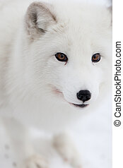 Arctic fox - A high resolution image of an arctic fox
