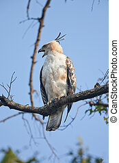 Changeable hawk eagle - A high resolution image of a...