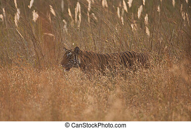 Male Bengal tiger in grasslands - A high resolution image of...