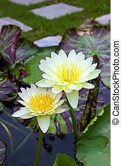 Two yellow water lily in pond