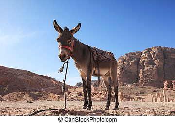 Donkey in Petra, Jordan - A high resolution image of a...