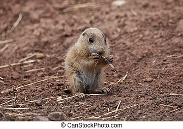 Baby Marmot Prairie dog, gopher - A high resolution image of...