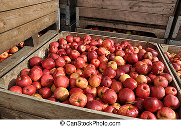 Crate with Apples - Wooden box with red Apples