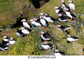 Many Puffins on a cliff - A high resolution image of puffins