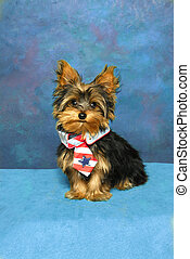Patriotic Yorkie - A Yorkshire Terrier puppy sits sporting a...