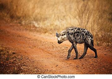 hyena, baksida, synhåll