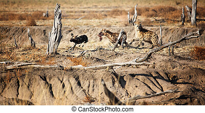 hyena and lycaon fight foor food rare scene