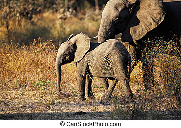 elephant portrait - baby elephant in luangwa national park...