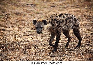 有斑點, 鬣狗