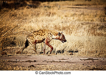 spotted hyena walk in luangwa national park zambia