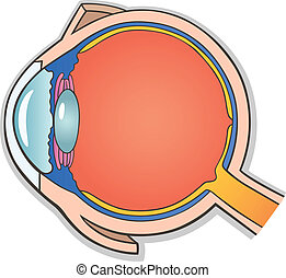 Human Eye Cross Section - Medical Vector Illustration of...