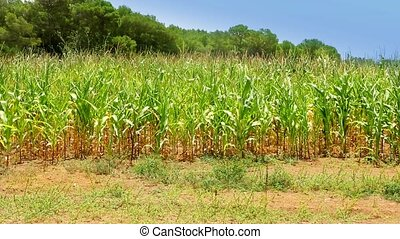 vivid corn field with green pines