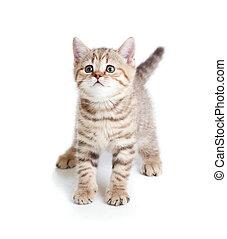 furcsa, Macska, háttér, cica, csecsemő, fehér