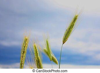 Grain - Field in Norway