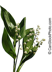 lily of the valley Isolated