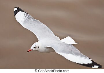 sea bird seagull nature closeup - Seagull in flight against...