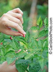 woman pick  the chili - Woman pick  a red chili