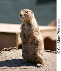 Prairie Dog / Cynomys  - Gopher standing upright