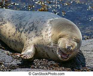 Grey Seal / Gray Seal / Halichoerus - Grey Seal Basking on a...