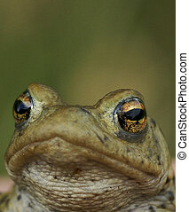 Common Toad Bufo Bufo - Face and Eyes of a Common Toad