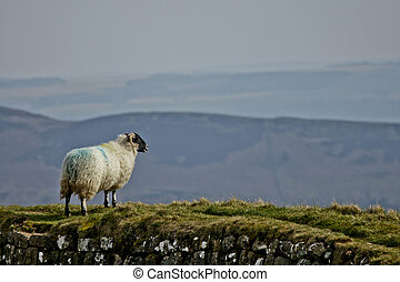 Sheep on Hadrian's Wall / Northumberland UK