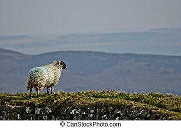 Sheep on Hadrian's Wall / Northumberland UK
