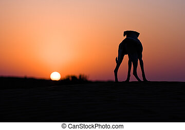 Desert dog - Silhouette of a desert dog standing on a sand...