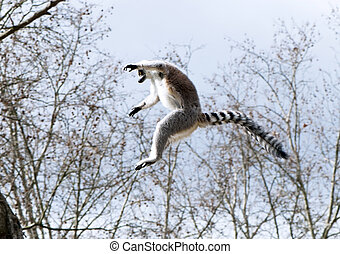 A ring-tailed lemur - The lemur jumping from tree to tree