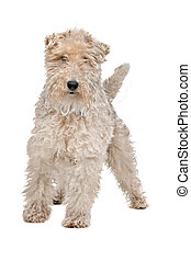 Wirehaired fox terrier - Wire fox terrier in front of a...