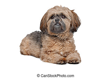 Lhasa Apso in front of a white background