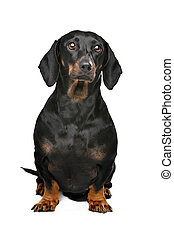 black and tan dachshund - dachshund black and tan in front...