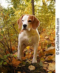 Beagle in autumn forest - Tricolour beagle in the beautiful...